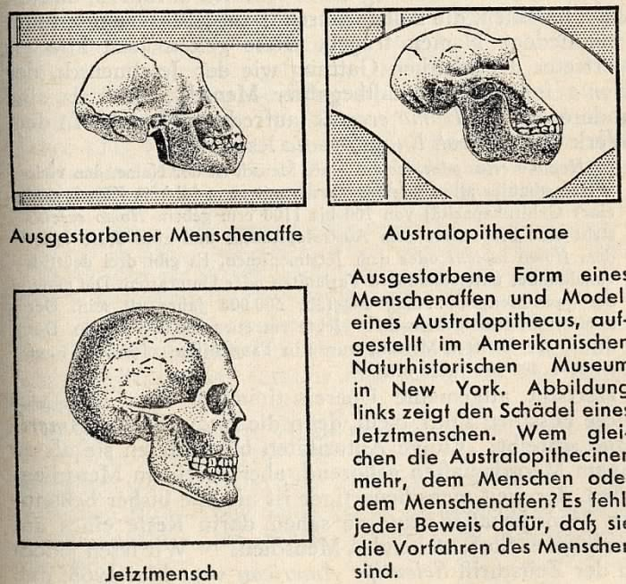 picture: http://www.manfred-gebhard.de/Menschenaffe.jpg